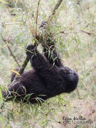 Mountain Gorilla Swing