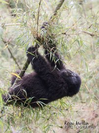 Mountain Gorilla Swing