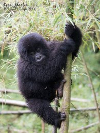 Mountain Gorilla Tree Climb