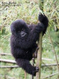 Mountain Gorilla Tree Climb