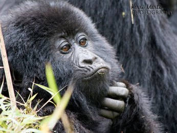 Mountain Gorilla Scratch
