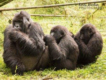 Three Mountain Gorillas