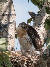 Ferruginous Hawk Baby