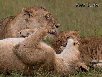 Lion s