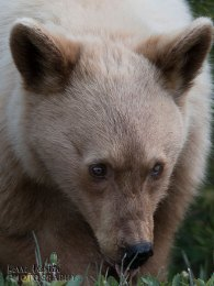 Blond Black Bear