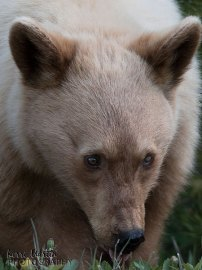 Blond Black Bear