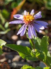 Purple Dewey Flower