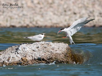 Common Tern Feeding Young