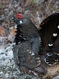 Male Spruce Grouse