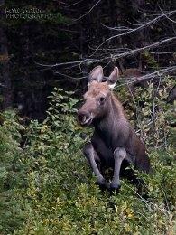 Mini Moose Jump