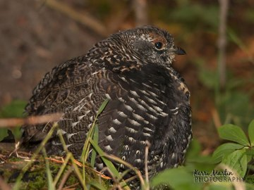 Young Male Spruce Grouse
