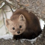 A pine marten helps heal my love/hate relationship with snow