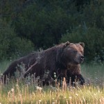 The Boss  – Banff Grizzly Bear No. 122 – provides a ridiculously exciting grizzly bear encounter