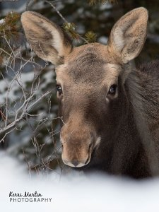 Moose Calf, Banff, Feb 7