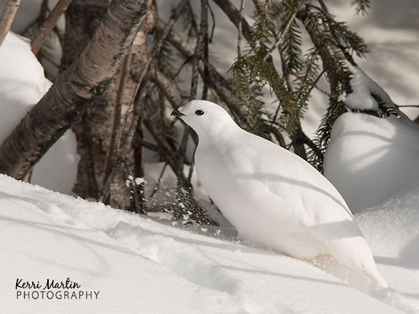 White Tailed Ptarmigan, Feb 7