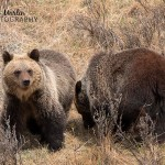 Mom and three little bears – my first grizzlies of 2016