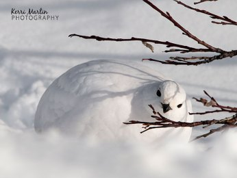 White Tailed Ptarmigan