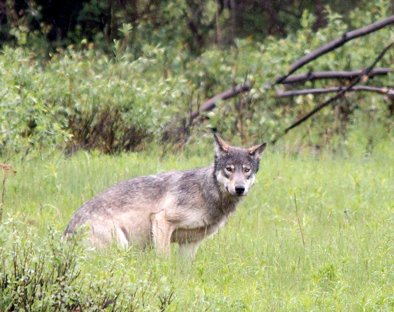 Banff wolf