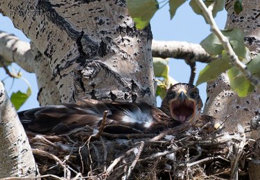 Baby Ferruginous Hawk Yawn