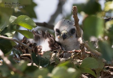 Baby Red Tail Hawks