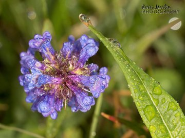 Dewey Purple Flower