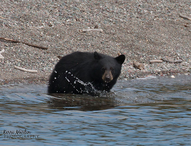 swimmingblackbear1
