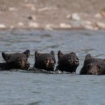 This Waterton black bear family dipped more than just a toe…