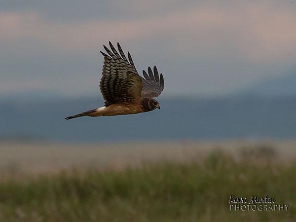 Northern Harrier, Frank Lake
