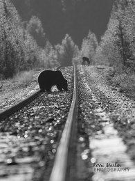 Grizzly on tracks