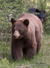 Black Bear Mom