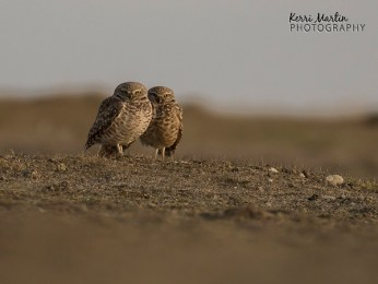 Burrowing Owl Couple