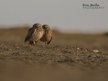 Burrowing Owl Couple