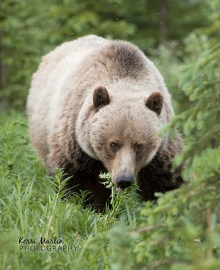 Blond Grizzly Bear