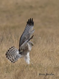Male North Harrier