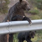 Kananaskis grizzly bear 104 and her cubs highlight the need for respect & personal responsibility