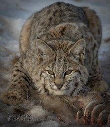 Bobcat5
