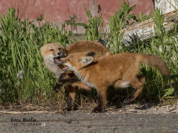 Playful Fox Kits