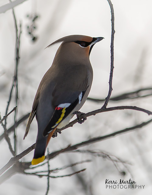 Beyond the photo: two left-over bohemian waxwings blow my mind…