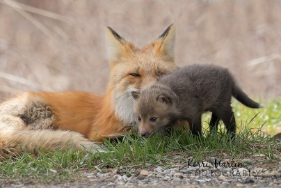Fox Kit with Mom