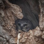 Part 2: Celebrity northern saw-whet owl saves my sanity
