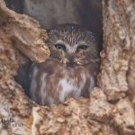 Part 1: Celebrity northern Saw-whet owl saves my sanity