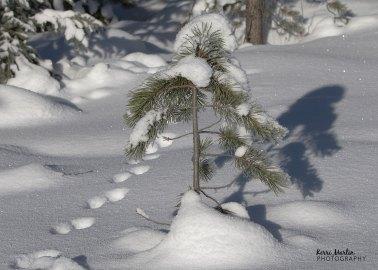 Pine Marten Tracks