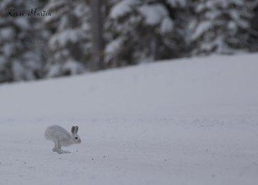 SnowshoeHare11
