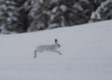 SnowshoeHare12
