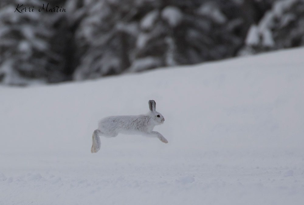 Snowshoe Hare Energy: An Expression of Divine Paradox
