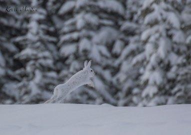 SnowshoeHare16