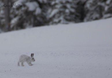 SnowshoeHare09