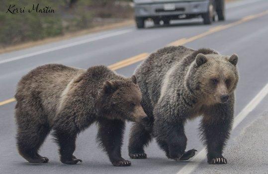 Banff Grizzly Bear 142