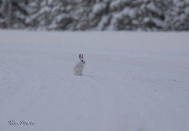 SnowshoeHare17