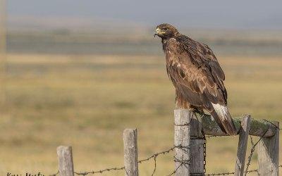 Golden Eagles on the misty Alberta Prairies: Sam and Kiwi's SE adventure